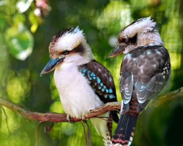 Endangered rainforest animals wallpaper - Birding Tours Australia Bird Tours Australia Bird